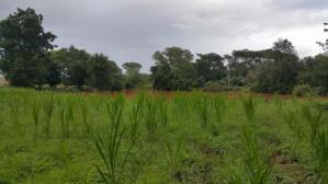 shwenadigrass